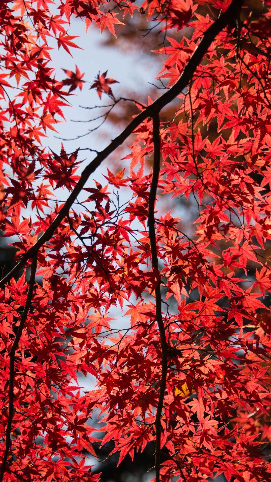 Red Maple Tree Leaves 4k Ultra Hd Mobile Wallpaper Red Maple Tree Red Maple Tree Leaf Red And Black Wallpaper