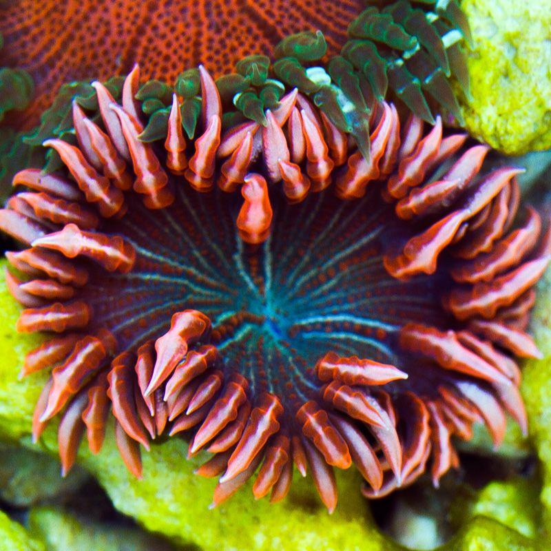 Aquacultured rock anemone 5 cherry corals saltwater