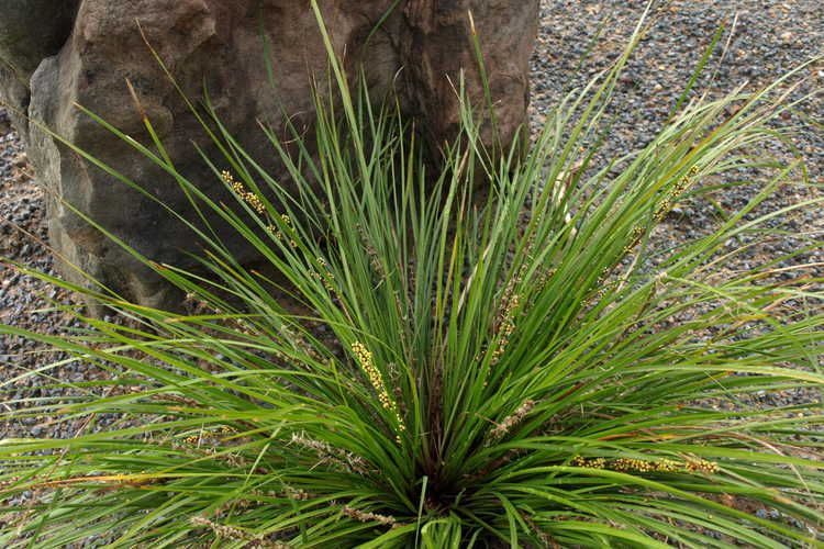 Lomandra Longifolia Lm 300 Breeze Dwarf Longleaf Mat Rush