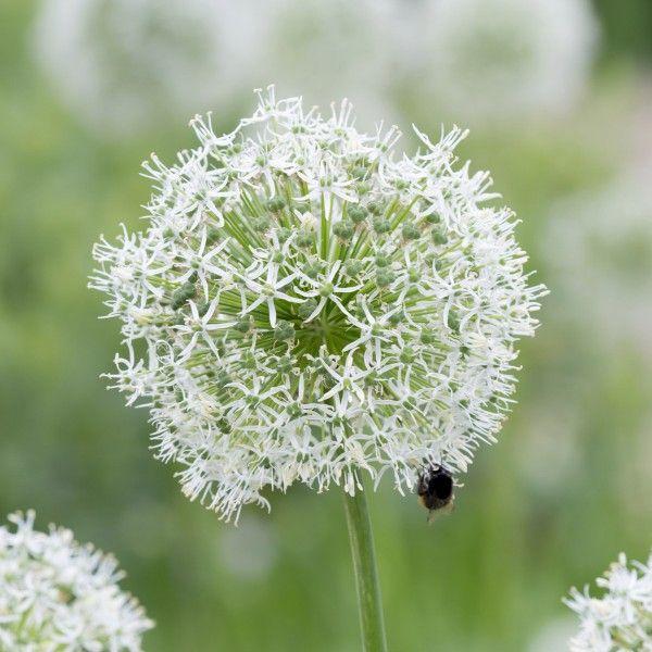 Allium \'Mount Everest\' - grazil, weiß, imposant - ein echtes ...