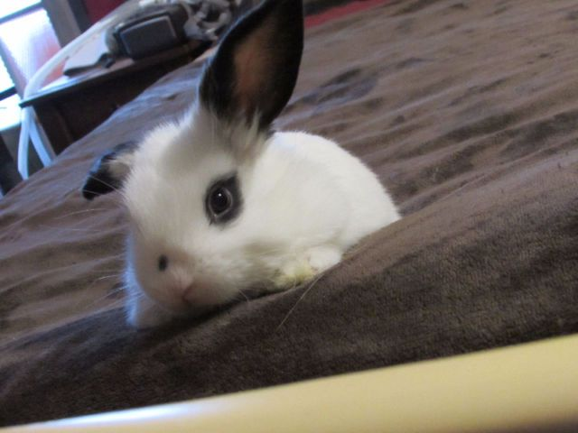 2 Adorable Lop Bunnies For Sale Small Animals For Sale Ottawa Kijiji Pets For Sale Small Pets Lop Bunnies