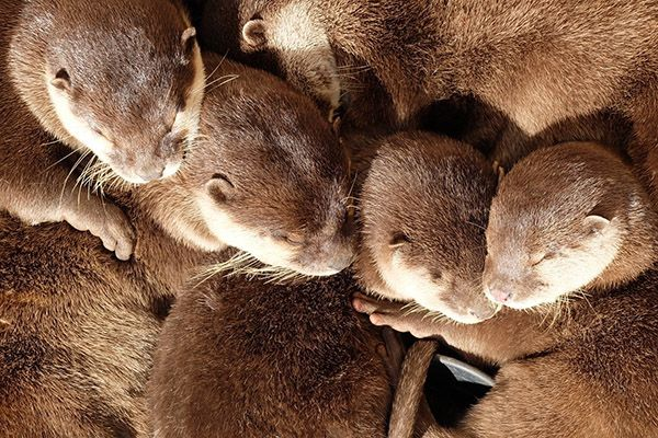 The coziest otter cuddle puddle ever - December 21, 2017