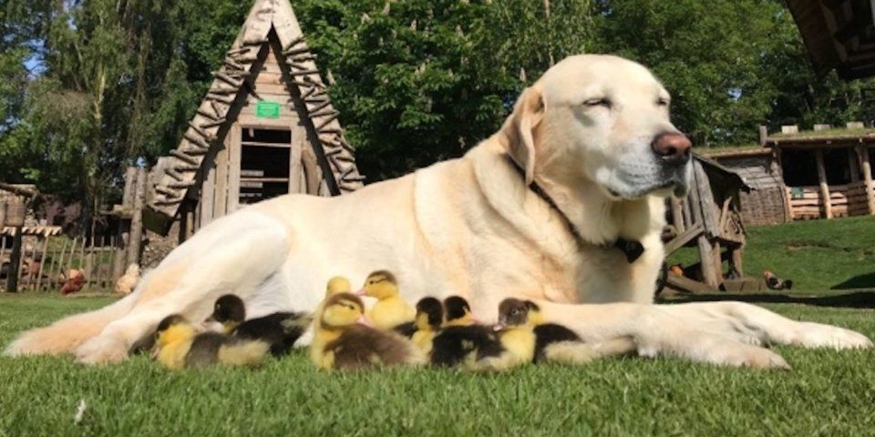Fred Labrador Ducklings Adopted Mountfitchet Castle Essex England