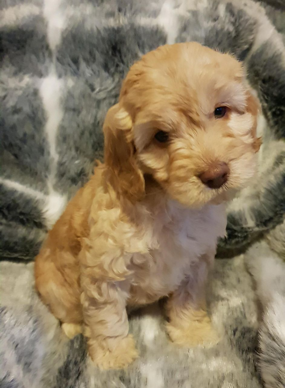 Beautiful F1 Cockapoo Puppies For Sale Cockapoo Puppies For