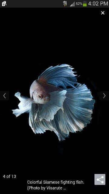 Blue Moon Half Moon Betta Fish Photography Buenas Noches Dulces Suenos Dulces Suenos Buenas Noches