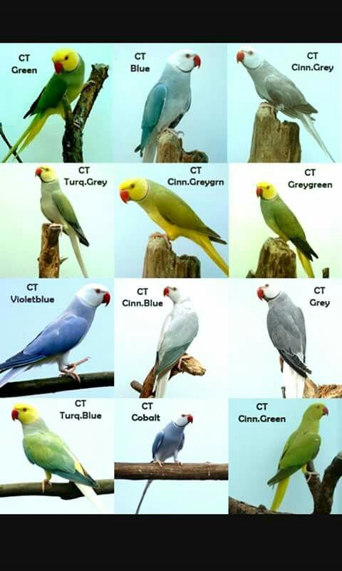 Indian Ringneck color mutations  | Birds | Pet birds, Parrot