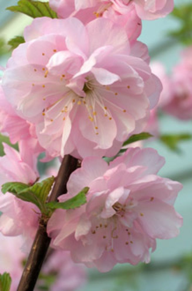 almond flowers flowers by color pastels pinterest blumen garten und garten pflanzen. Black Bedroom Furniture Sets. Home Design Ideas