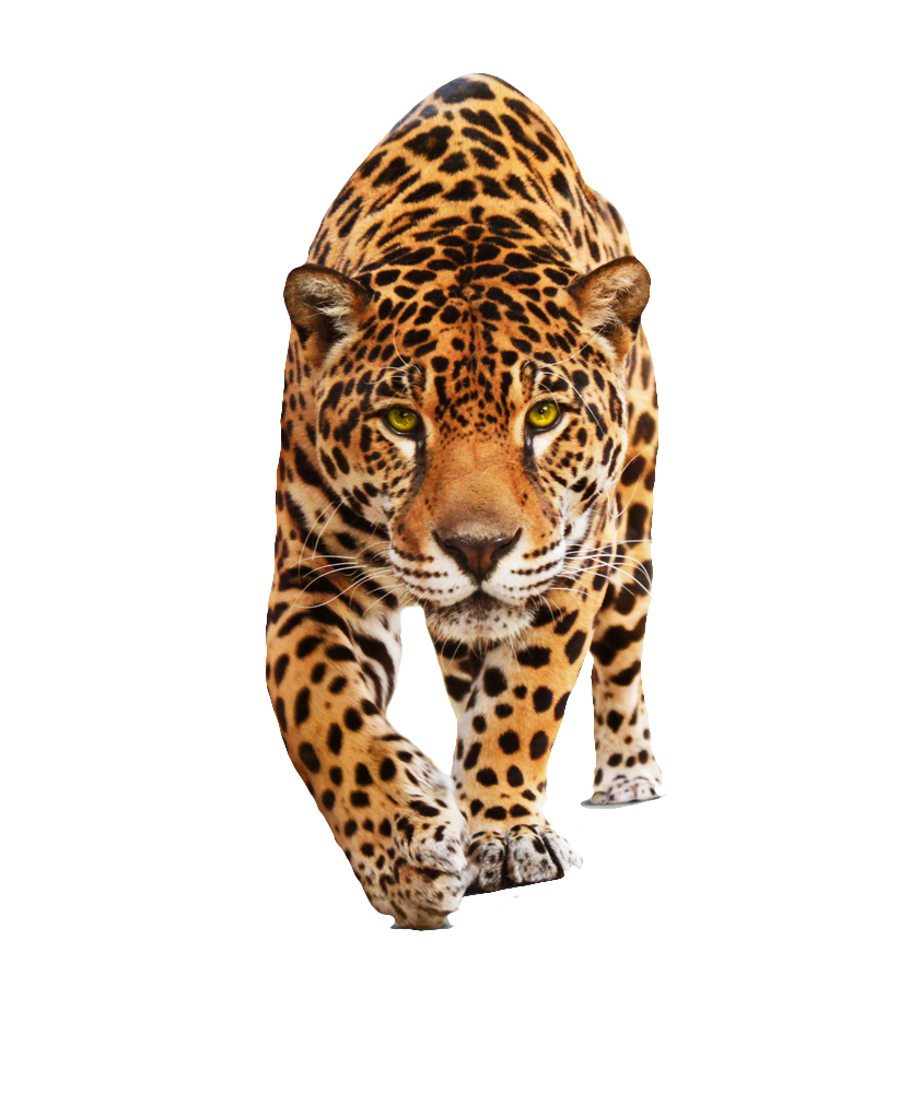 Jaguar Png Hd PNG Image (With images) Black wall