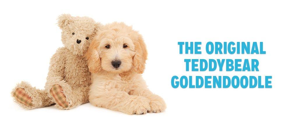 This Is An English Teddy Bear Goldendoodle Puppy From Smeraglia Smeraglia Goldendoodles Goldendoodle Cavapoo Puppies Teddy Bear