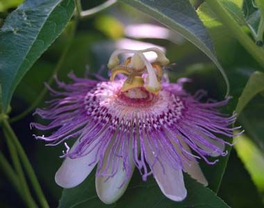 Tennessee State Wildflower Passion Flower Passion Flower Wild Flowers Purple Passion Flower