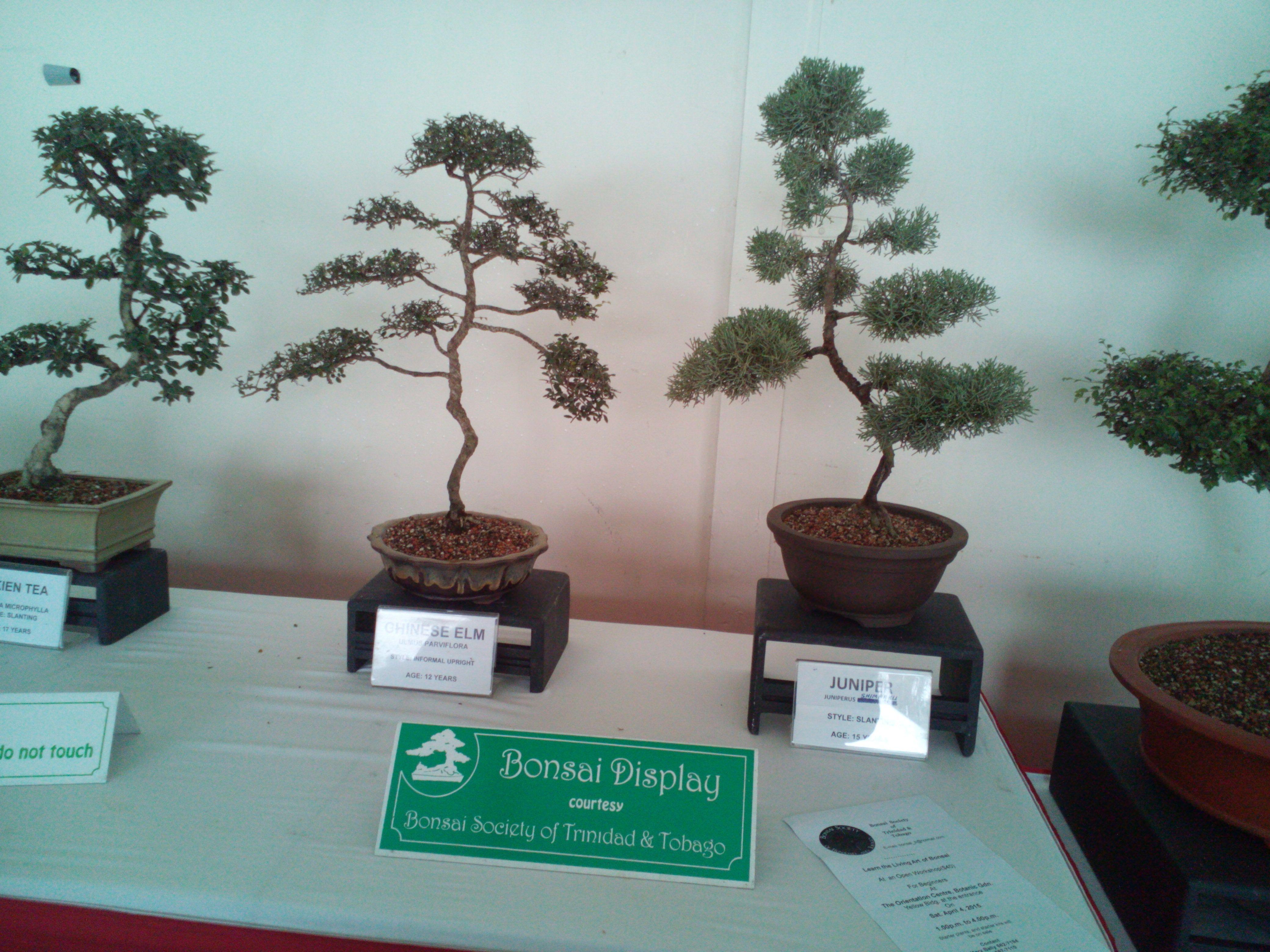 Bonsai Trees For Sale In Trinidad Bonsai Tree