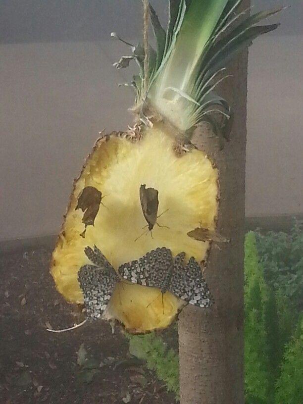 Fruit attracks bflies