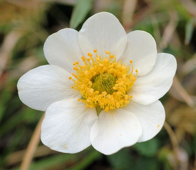 The national flower of iceland is the mountain avens iceland the national flower of iceland is the mountain avens iceland izland pinterest iceland and iceland island mightylinksfo Image collections
