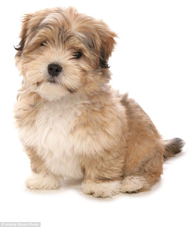 It S Not Just Labradoodles Britain S Going Crazy For Designer Pups Labradoodle Pup Maltese Shih Tzu