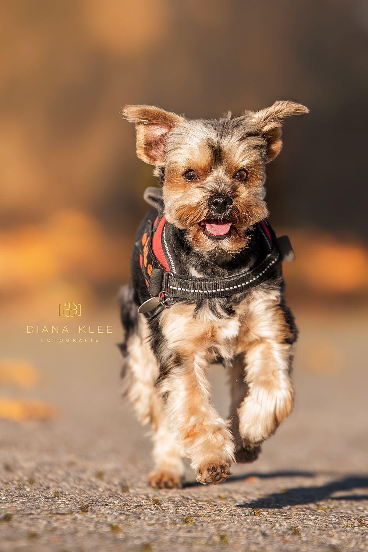 Yorkshire Terrier Milow Macht Sich Schon Mal Auf Den Weg Ins Jahr 2019 Yorkshireterrier Yorkshire Terrier Yorkie Lovers Terrier