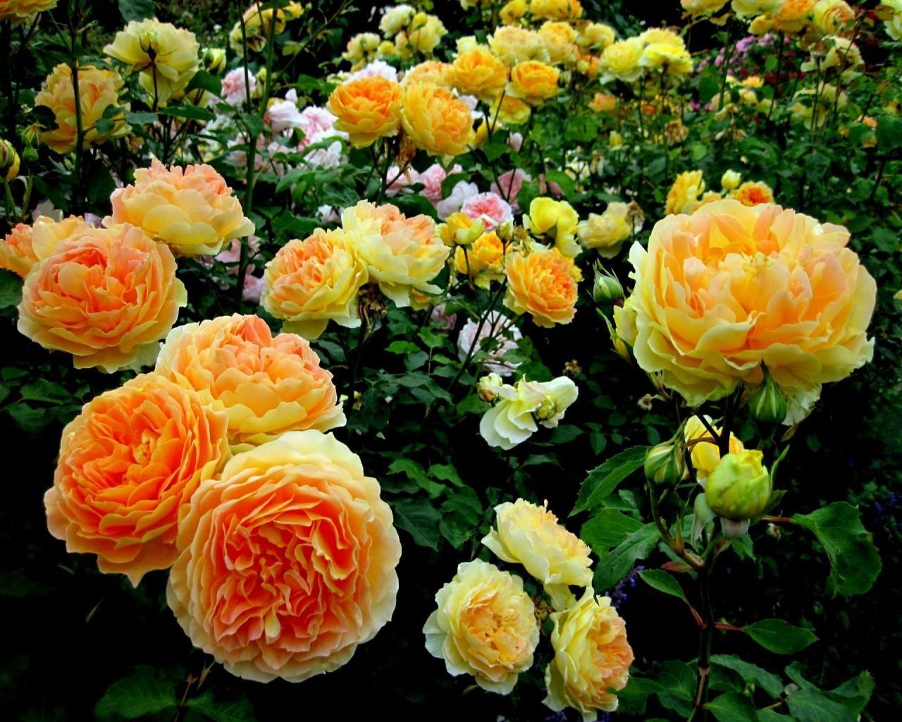 Rose flower garden pictures - Rose Flower Garden