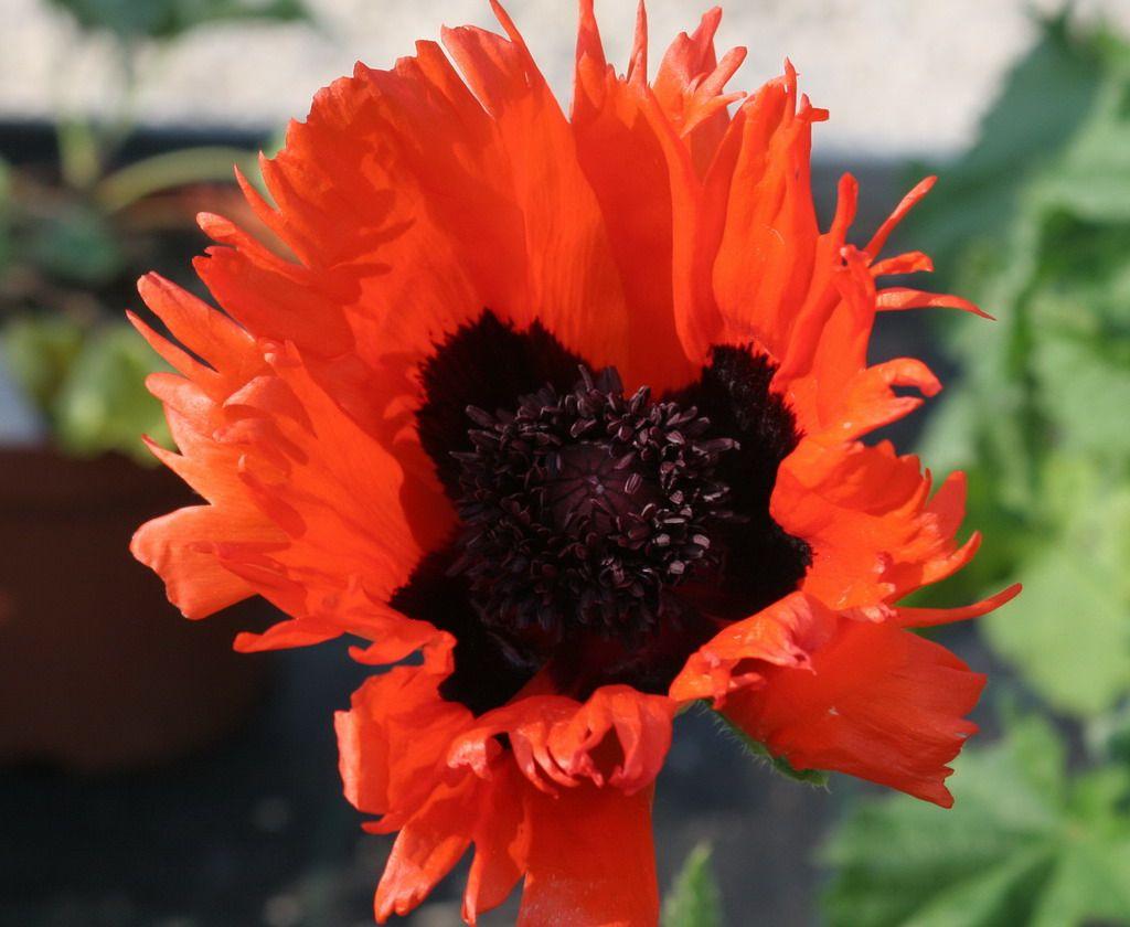 Oriental Poppy Papaver Orientales Curlilocks Poppy Poppy