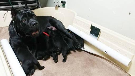 Litter Of 6 Cane Corso Puppies For Sale In Loxahatchee Fl Adn 27923 On Puppyfinder Com Gender Male S And Fem Puppies For Sale Cane Corso Puppies Cane Corso