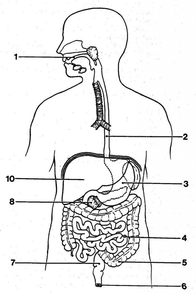 Digestive System Diagram Unlabeled Blank Digestive System