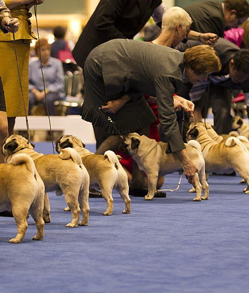 Pugs Akc Eukanuba National Championship Dog Click Here