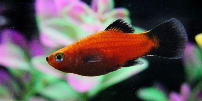 Platies Best Freshwater Aquarium Fish For Beginners Easy Fish For
