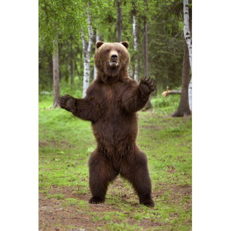 Home Brown Bear Bear Bear Pictures