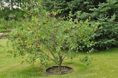 Northern Exposure Gardening Zone 1 Cherry Harvest Plants Faeries Gardens Edible Landscaping
