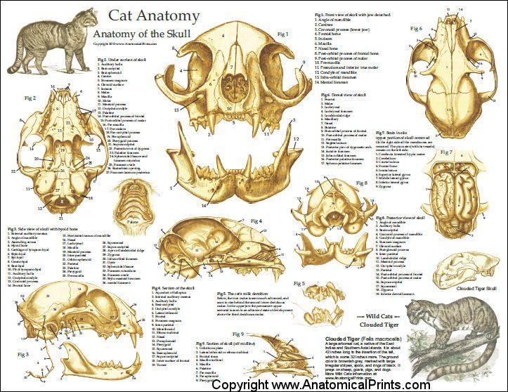 Cat Feline Veterinary Skull Anatomy Laminated Poster Wall Chart ...