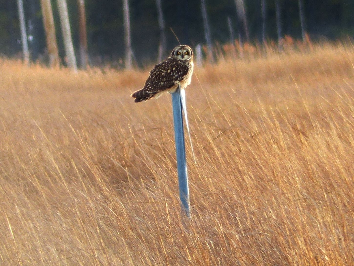 A Short -Eared Owl out in the marsh near Cambridge MD. # ...