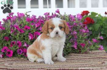Brandon is a cute and sweet Cavalier puppy with a gentle