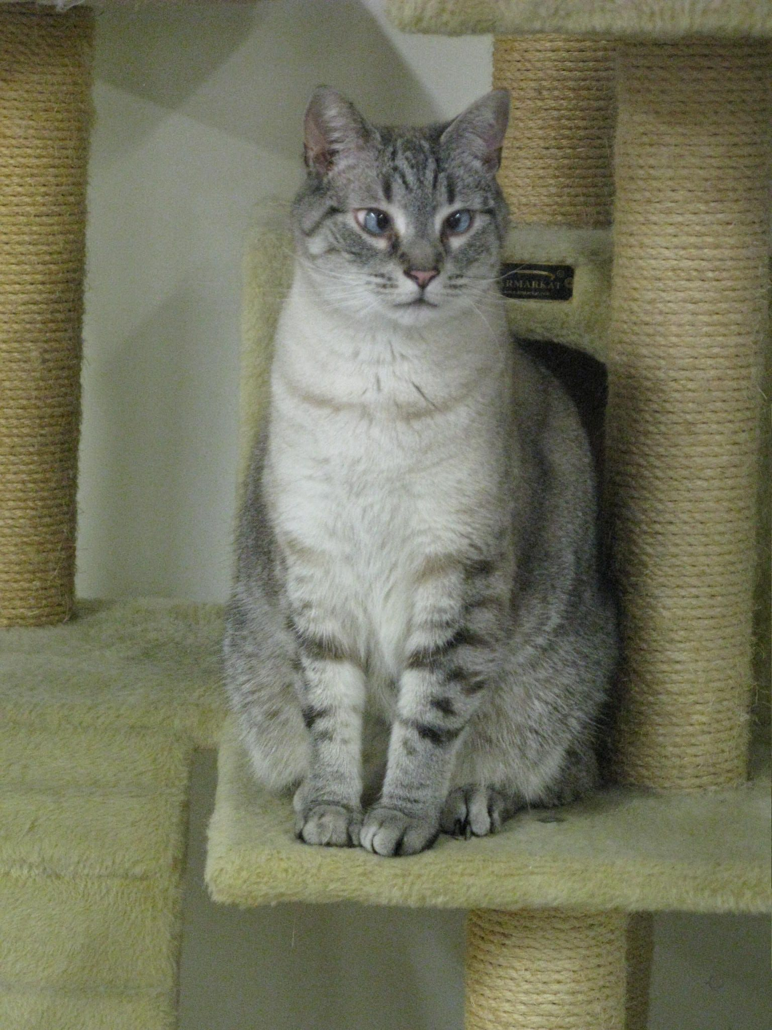 The LAPS cat of the week is Spunky, a siamese mix adult