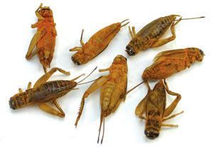 Crick Ettes Edible Insects Weird Food Cheese Cultures