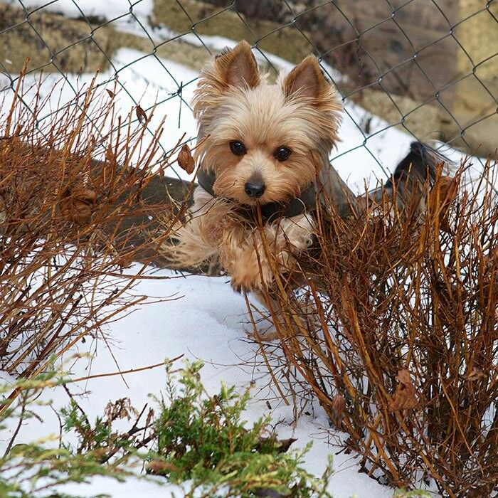 My Yorkie loves romping through the snow!