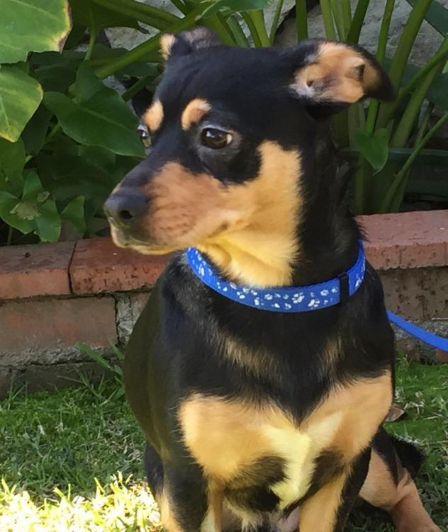 Adopt Pepper On Langhaardackel Hunde Jagdhunde