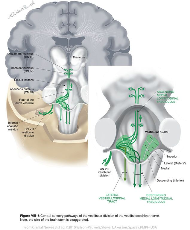 Vestibulocochlear VIII - Cranial Nerves | fysio | Pinterest ...