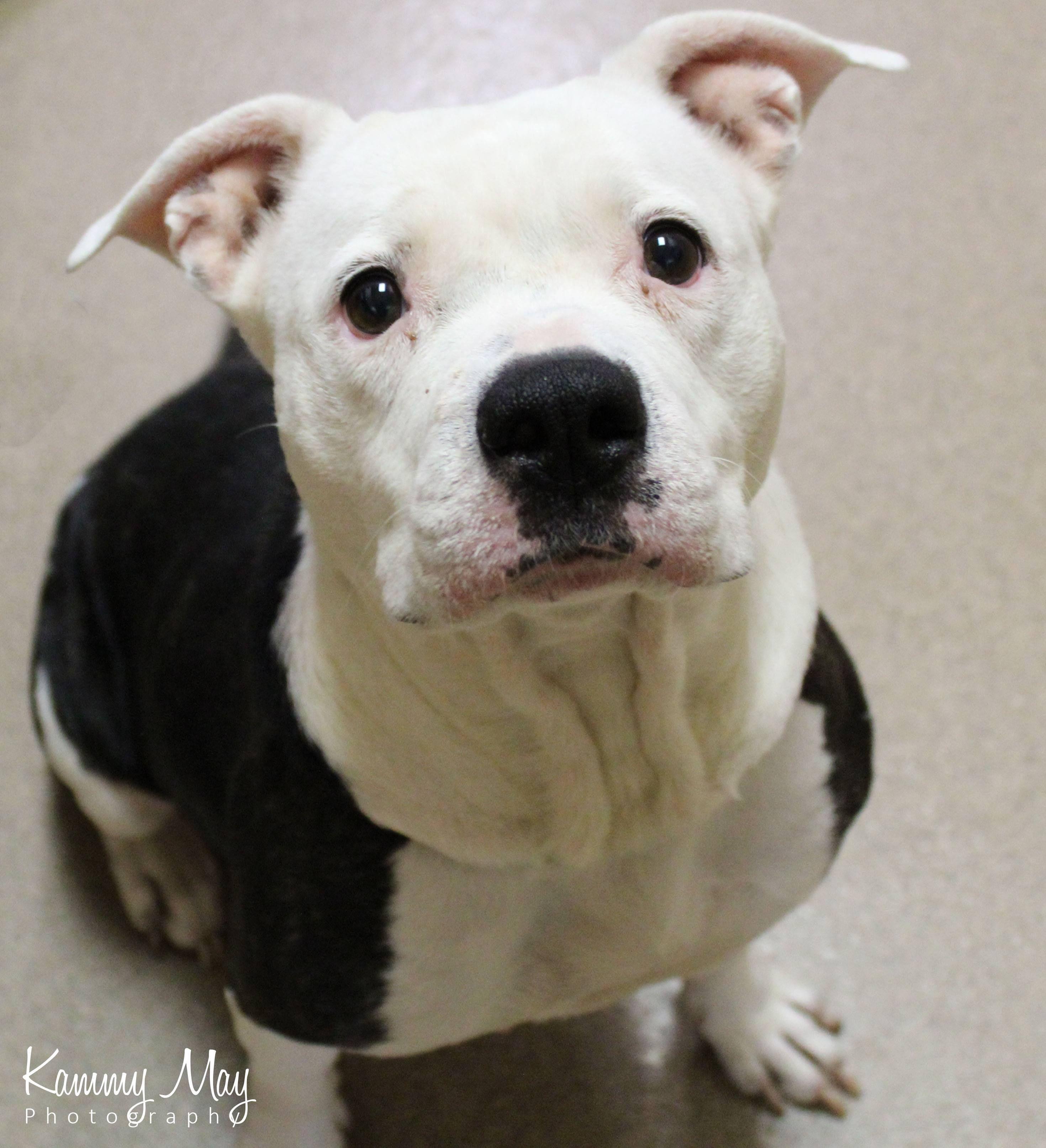 Adopt Jayda Adoption Pending On In 2020 Beautiful Dogs American Bulldog Mix Animal Rescue