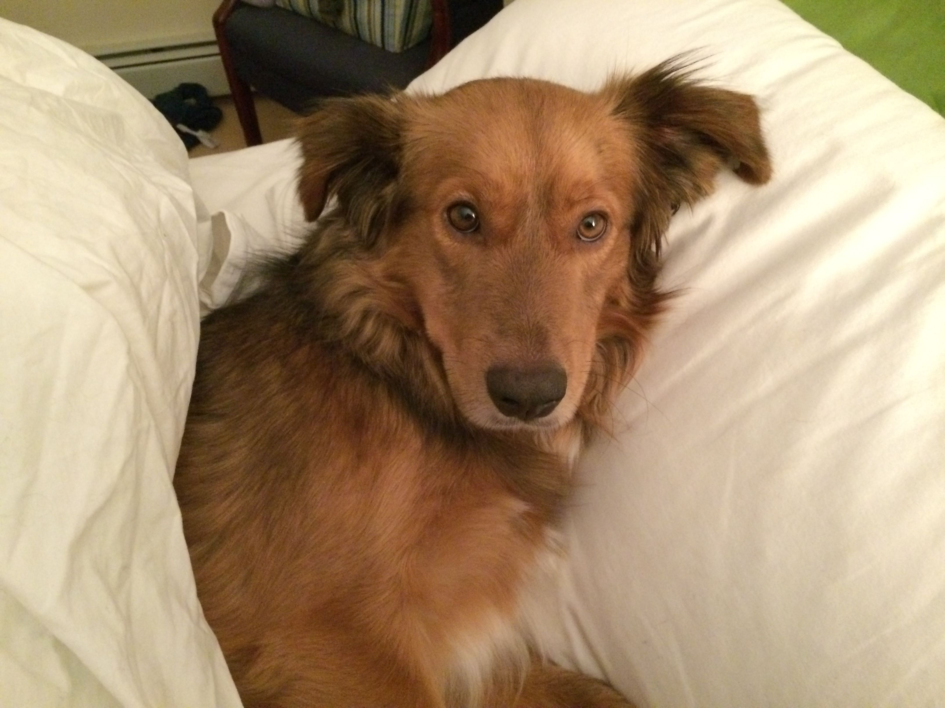 Hank. a two year old Border Collie/ Golden Retriever mix