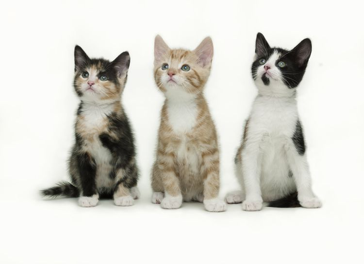Compelling Arguments For Early Spay And Neuter Of Cats Cats