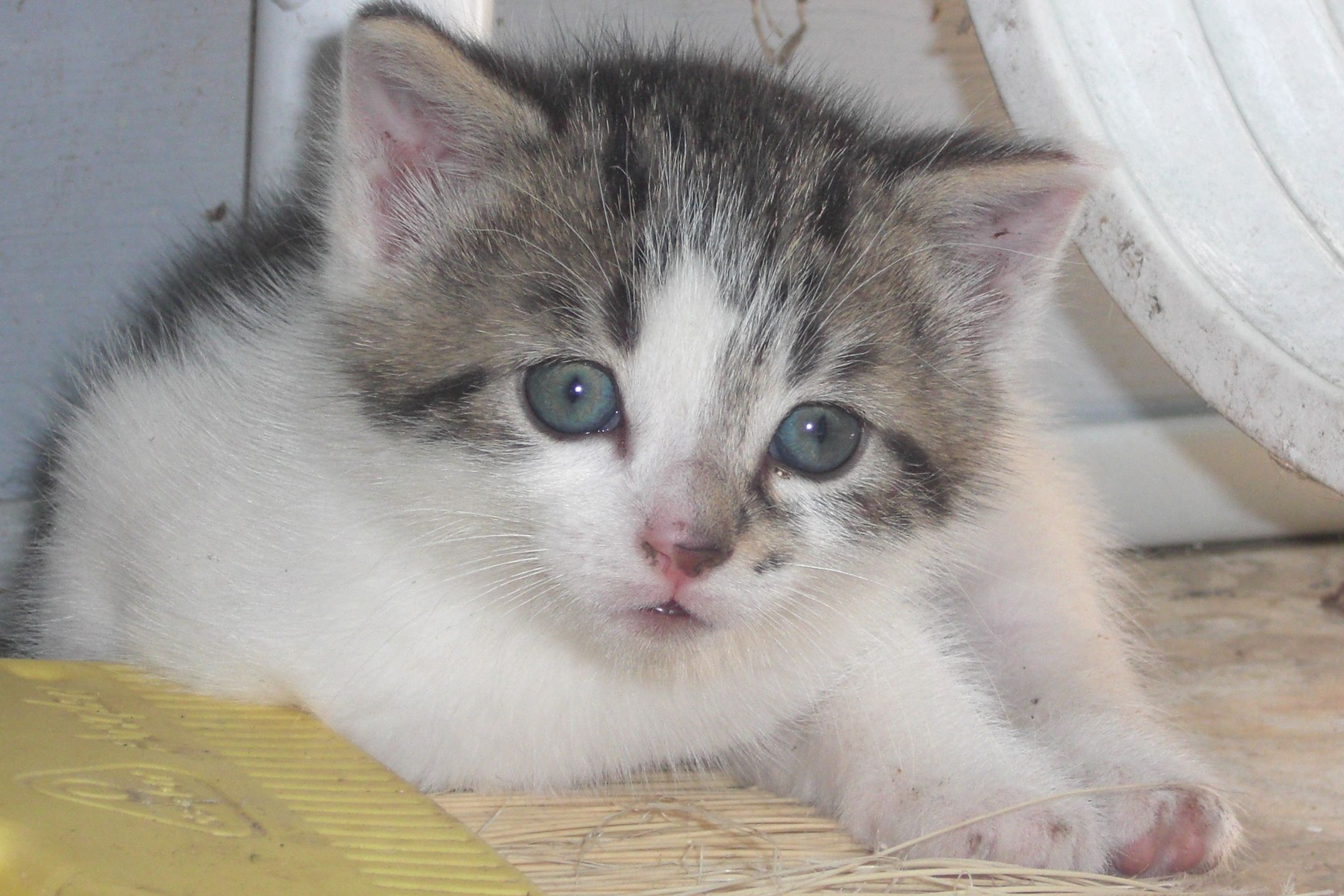 Cutest Kitten Ever Look At Those Eyes Cutest Kittens Ever