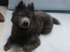 Sasha A1094472 Chow Chow Puppy Dog Adoption Chow Chow Mix