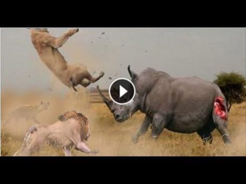 Image of: Zoo Lion Vs Rhino Real Fighting Animals Videos Lions And Rhino Pinterest Lion Vs Rhino Real Fighting Animals Videos Lions And Rhino Lion