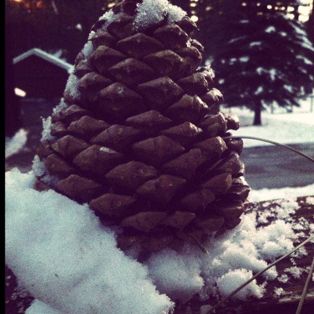 Snow & pine