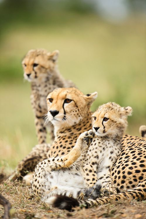 Cheetah mother and cubs (Acinonyx jubatus), at rest, Masai Mara, Kenya