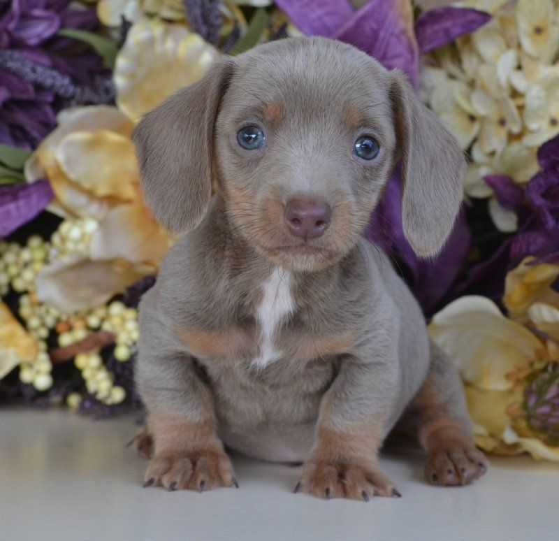 Blue Dachshund Puppies For Sale Mississippi 601 590 2039