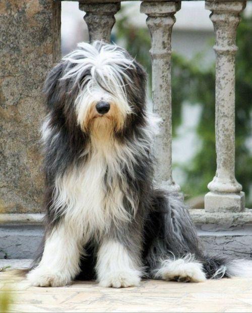 Prettie Sweet Love Bearded Collie Dog Bearding Collie Puppies