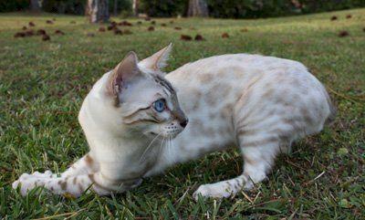 Zawieco Bengal Cat And Kitten Breeders In Florida Bengal Cat Facts Bengal Cat Bengal Kittens For Sale