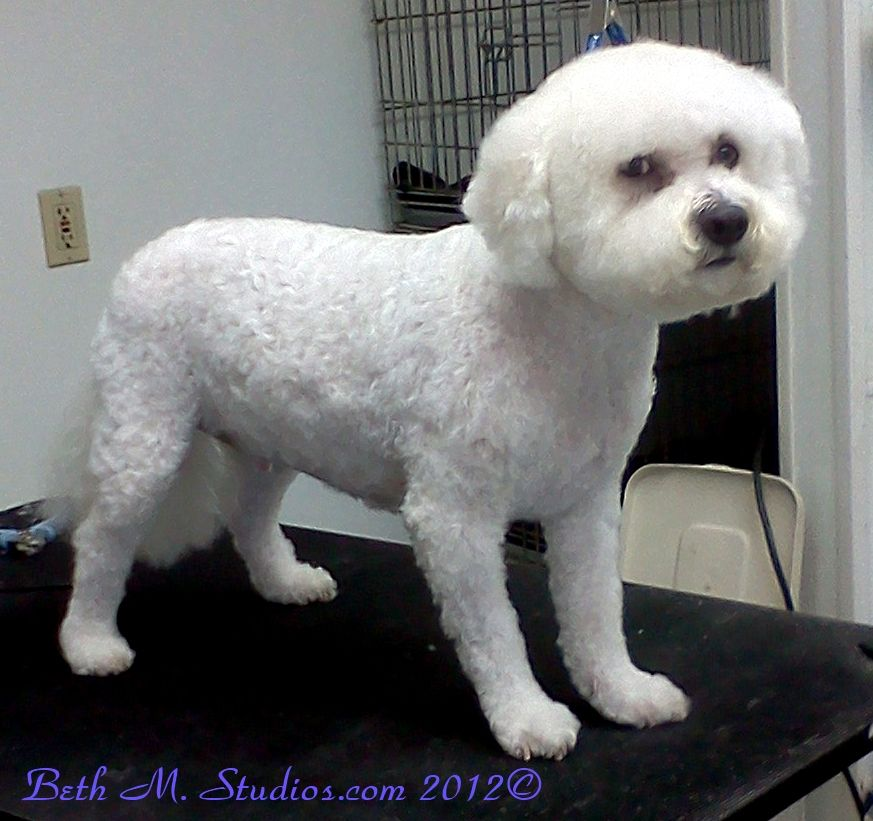 Prince Bichon After A Pet Style Http Www Gooddogsspaandstudio