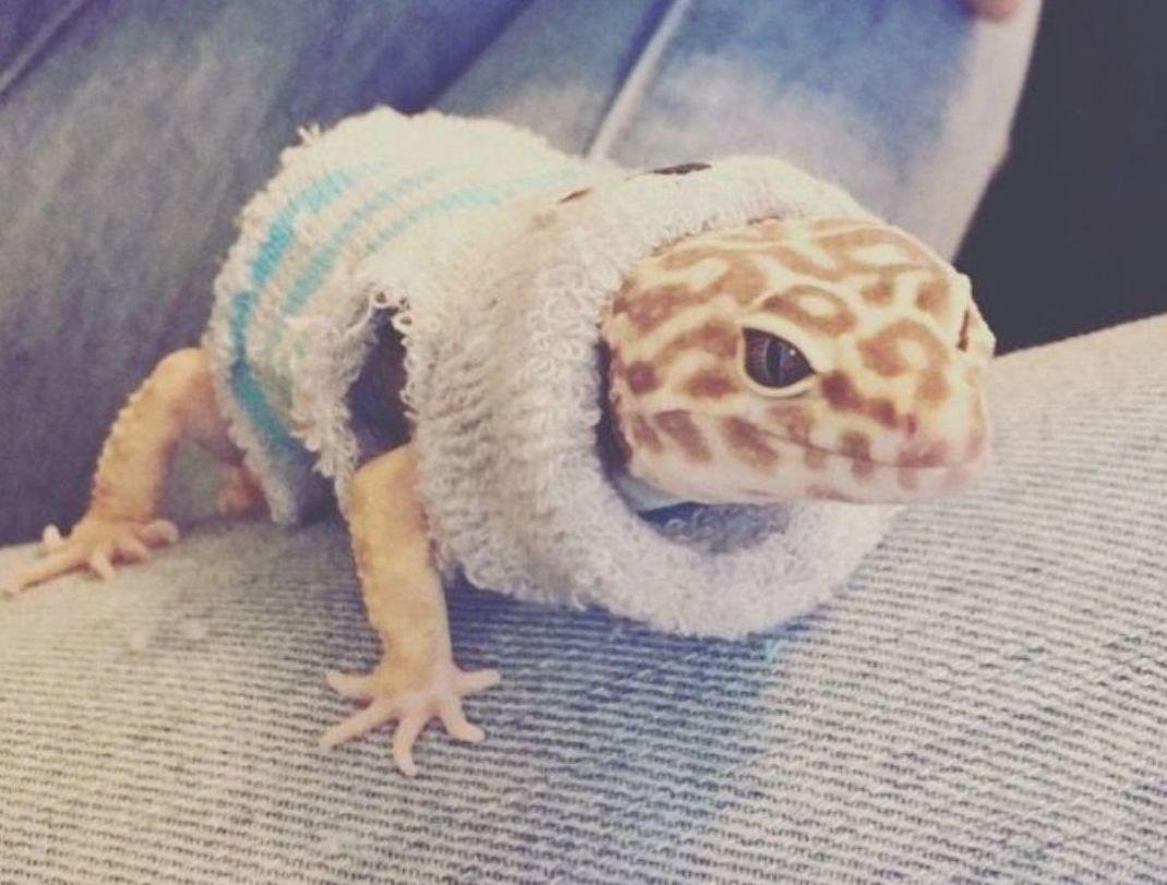 Leopard Gecko Wearing A Sweater Music Indieartist Chicago In 2020 Leopard Gecko Cute Leopard Gecko Gecko