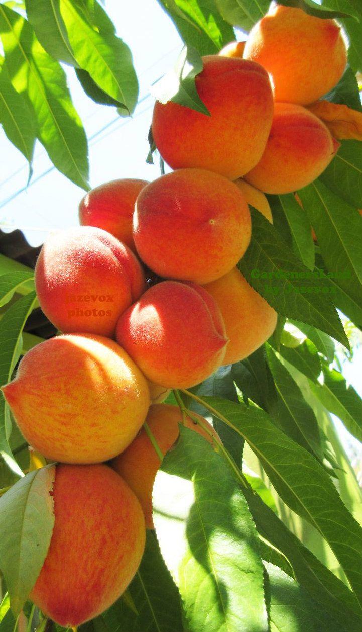 Foto Di Alberi Da Frutto pin di g pennazio su frutta | fotografia di frutta, alberi