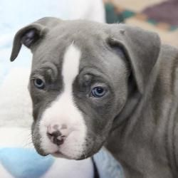 Raymond Puppy! is an adoptable American Staffordshire